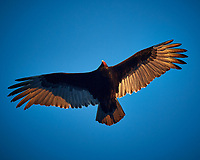 Late afternoon Turkey Vulture in flight. Image taken with a Nikon D5 camera and 80-400 mm VRII telephoto zoom lens.