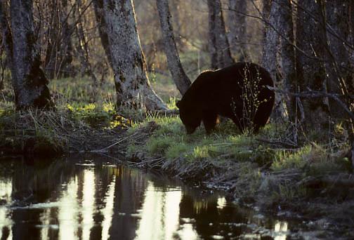 Black Bear, (Ursus americanus) Minnesota, Evening light silhouetted lone bear at stream bank. Spring.