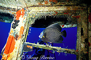 diver and French angelfish,  <br /> Pomacanthus paru,<br /> on wreck of freighter Rosaomaira,<br /> sunk as artificial reef, <br /> St. Croix, U.S. Virgin Islands ( Caribbean Sea )