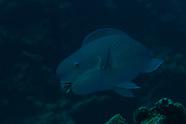 Chlorurus microrhinos (Steephead Parrotfish)