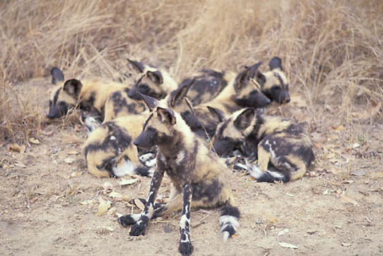 African Wild or Cape Hunting Dog, (Lycaon pictus) group of pups resting. Kruger National Park. South Africa.
