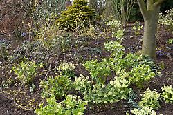 Hellebores - Helleborus x hybridus Ashwood Garden hybrids - and Primula elatior (Oxlips) planted amongst Cornus officinalis on a bank at Ashwood Nurseries