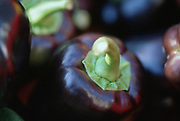 Close up selective focus photograph of Purple Bell peppers