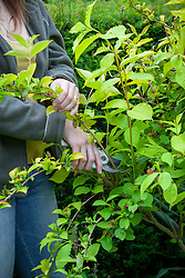 Pruning a spring flowering shrub (weigela) after it has finished flowering by removing the flowered stems.