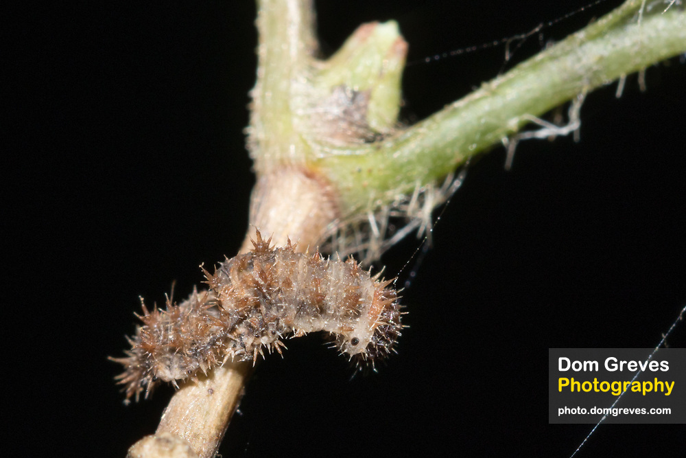White admiral (Limenitis camilla) larval remains. Sussex, UK.