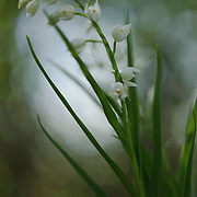 Narrow-leaved Helleborine  (Cephalanthera longifolia) in bloom