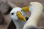 A couple of waved albatrosses, Diomedea irrorata.