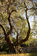 An old olive tree (Olea Europaea) growing on the Orkos Estate, Paxos, Greece, Europe