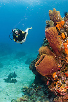 A female diver explores a barrel sponge and  corals, St. Lucia.
