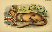 The fossa (Cryptoprocta ferox) is a carnivorous mammal that is endemic to Madagascar. It is a member of the Eupleridae, a family of carnivorans closely related to the mongoose family Herpestidae., From the book ' A handbook to the carnivora : part 1 : cats, civets, and mongooses ' by Richard Lydekker, 1849-1915 Published in 1896 in London by E. Lloyd