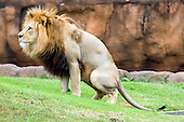 Virginia_Zoo_Lions_Meerkat (Click on thumbnails below to purchase)