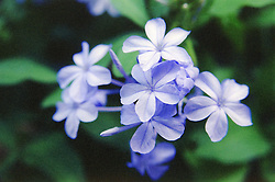 Close up of blue flowers,