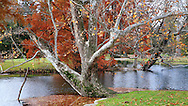 A Little Pond And A uniquely Shaped American Sycamore Tree In Autumn, Southwestern Ohio, Platanus occidentalis