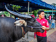 23 OCTOBER 2018 - CHONBURI, CHONBURI, THAILAND:  A man with a water buffalo he runs in the Chonburi water buffalo races. Contestants race water buffalo about 100 meters down a muddy straight away. The buffalo races in Chonburi first took place in 1912 for Thai King Rama VI. Now the races have evolved into a festival that marks the end of Buddhist Lent and is held on the first full moon of the 11th lunar month (either October or November). Thousands of people come to Chonburi, about 90 minutes from Bangkok, for the races and carnival midway.   PHOTO BY JACK KURTZ