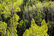 Backlit aspen (Populus tremuloides) trees, Lost Creek Wilderness, Colorado.