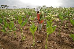 Plantacao de tabaco em Salvador/ Tobacco crop in Salvador, Bahia, Brazil