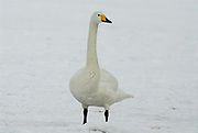 Whooper swan, Cygnus cygnus, standing on frozen lake Kussharo-ko, Hokkaido Island, Japan, japanese, Asian, wilderness, wild, untamed, ornithology, snow, graceful, majestic, aquatic
