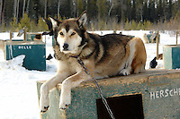 Hershel a sled dog at Frank Turner's Muktuk Adventures near Whitehorse, Yukon.