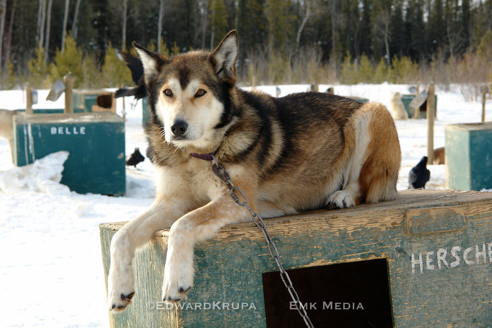 Hershel a sled dog at Frank Turner's Muktuk Adventures near Whitehorse, Yukon.