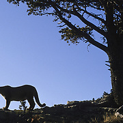 Mountain Lion (Felis concolor) adult in the foothills of the Rocky Mountains in Montana. Captive Animal