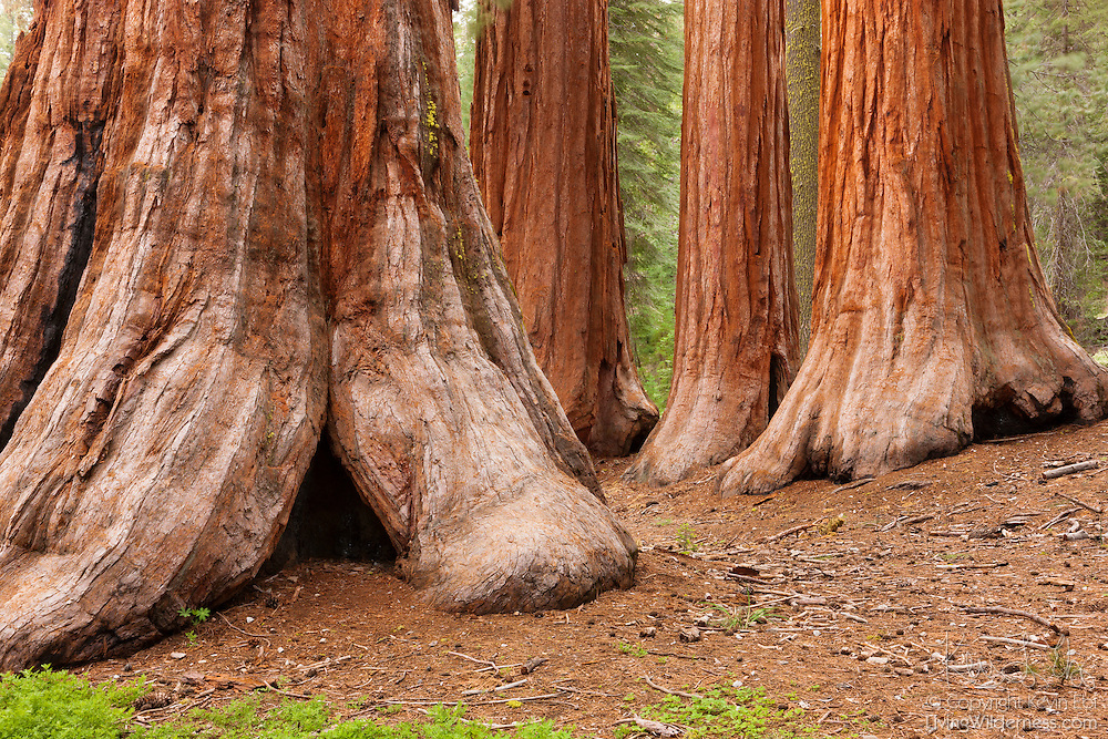 Four giant sequoia trees known as the Bachelor and the Three Graces stand in the Mariposa Grove of Yosemite National Park, California. Sequoias can grow very close together because they share root systems.