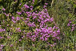 Roze klaverzuring, Oxalis corymbosa