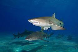 lemon shark, Negaprion brevirostris, and Sharksuckers, Echeneis naucrates, West End, Grand Bahama, Bahamas, Atlantic Ocean