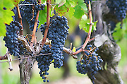 Guyot pruned vines in the vineyard. Bunches of ripe grapes. Cabernet Sauvignon. Chateau Reignac, Bordeaux, France