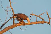 Stock photo of bald eagle captured in Colorado.
