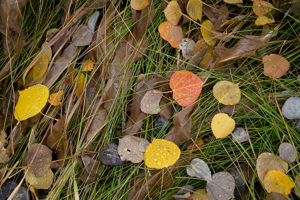 Fallen autumn aspen leaves cover the ground at Grand Teton National Park, Wyoming.