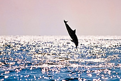 silhouette of Hawaiian spinner dolphin, Stenella longirostris longirostris, leaping, Kona Coast, Big Island, Hawaii, USA, Pacific Ocean