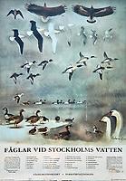 Stockholm Birds. Stockholm, Sweden. Image taken with a Nikon N1V3 camera and 10-100 mm VR lens.