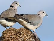 A pair of ring-necked doves (Streptopelia capicola) on the roof of a Maasai house. Sanya Juu, Boma Ngombe, Tanzania.