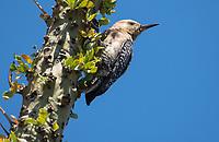 A Gila Woodpecker, Melanerpes uropygialis, perches on an Ocotillo, Fouquieria splendens, in the Desert Botanical Garden, Phoenix, Arizona