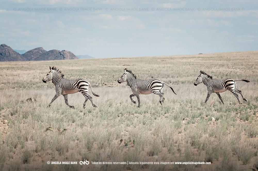 Zebras em galope no Párque Nacional do Iona localizado no deserto Namib, no sul de Angola, provincia do Namibe. Trata-se da Zebra-das-Montanhas-de-Hartmann (o nome científico em Latim é Equus zebra hartmannae) que é uma sub-espécie da zebra-das-montanhas encontrada apenas no extremo sul de Angola e norte da Namibia. Vivem em pequenos grupos de 7 a 12 indivíduos, são escaladores ágeis e sobrevivem em condições áridas e terrenos rochosos com pouca ou nenhuma vegetação. A espécie e a sub-espécie estão listadas como vulnerável na Lista Vermelha da IUCN.