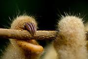 Parauapebas_PA, Brasil...Tamanduai (Cyclopes didactylus) encontrado em area de desmatamento na Floresta Nacional de Carajas em Parauapebas, Para...The Silky Anteater or Pygmy Anteate (Cyclopes didactylus) found in area of deforestation in the Carajas National Forest in Parauapebas, Para...Foto: JOAO MARCOS ROSA / NITRO
