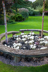 Curved wooden bench seat forming circle around Betula nigra 'Heritage' trees with Colchicum speciosum album AGM (giant meadow saffron), Ophiopogon planiscapus 'Nigrescens' and Cyclamen hederifolium planted at their base.