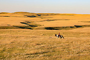 John Zeman follows GSP Liza during a Montana sharptail prairie grouse hunt.
