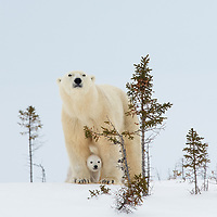 Polar bear mother with her three month old cub nestled between her front legs standing on a snow covered ridge in Wapusk National Park
