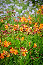 Alstroemeria 'Ligtu Hybrids' - Peruvian Lily - Graham Gough form