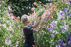 Rachel Siegfried picking sweet peas at Green and Gorgeous