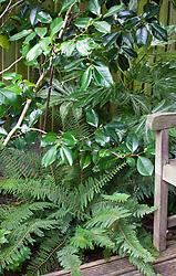 Polystichum setiferum (Divisilobum Group) 'Divisilobum Wollaston' with the foliage of Camellia japonica 'Lovelight'