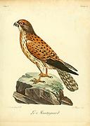 Montagnard Bird of Prey from the Book Histoire naturelle des oiseaux d'Afrique [Natural History of birds of Africa] by Le Vaillant, François, 1753-1824; Publish in Paris by Chez J.J. Fuchs, libraire .1799