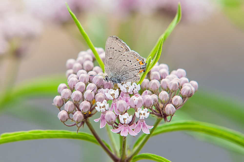 A California hairstreak feeds on a narrowleaf milkweed in the Columbia Gorge, just on the Washington side, north of the Columbia River. Although it is most common in the state of California, it can be found throughout most of the central western states from the Pacific Coast westward to the Rocky Mountains.