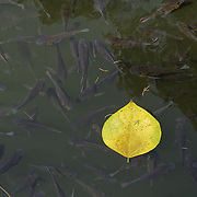 A leaf floats on the surface of a garden pond filled with small fish.  Goa Gajah, Uban, Indonesia.