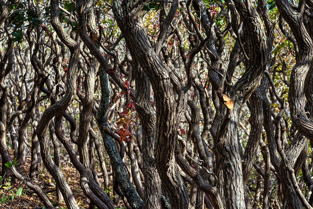 Detail of scrub oak trees, Cedar Tree Neck Sanctuary