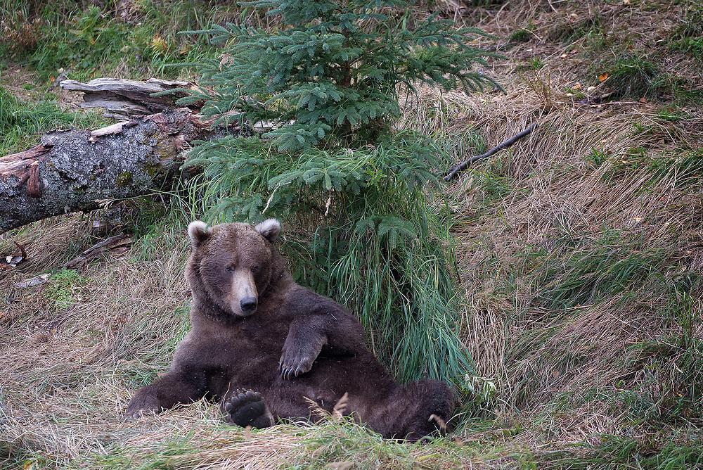 A lethargic brown bear in Katmai National Park, Alaska