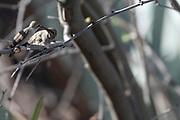 Photograph of a mother feeding baby Anna's Hummingbird at Desert Trails in AZ