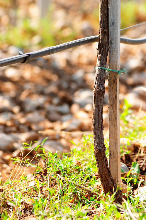 Vines equipped with black rubber or plastic tubes for artificial irrigation watering. Vineyard on the plain near Mostar city. Hercegovina Vino, Mostar. Federation Bosne i Hercegovine. Bosnia Herzegovina, Europe.