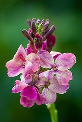 Erysimum cheiri 'Sunset Purple'. Wallflower